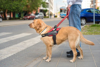 A guide dog waiting attentively to help someone accross the street.